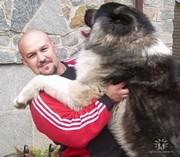 Элитные щенки кавказской овчарки от чемпиона Украины