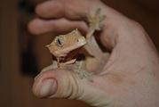 Продажа гекконов по низким ценам
