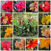 Цветы канны замысловатых оттенков 11сортов