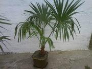 Продам вееровидную пальму