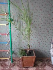 Пальма веерная. Высота 2 метра