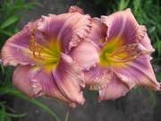 продам цветы многолетники