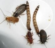 Продам насекомые кормовые для рептилий.