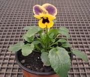 Живые цветы анютины глазки (виола) для клумбы,  балкона,  подоконника