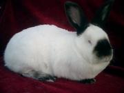 Продам калифорнийских кроликов