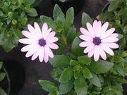 Продам цветы опт,  возможна доставка