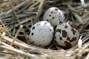 Перепелині яйця від виробника