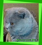 Nen! Подрощенный шотландский котик. НЕ кастрирован.