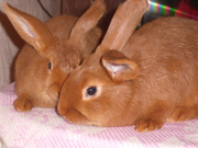 кролики  нзк  и венский голубой