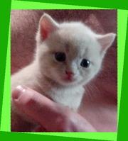 Котята британские. Эксклюзивный малыш.