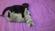 Шикарные шотландские котята