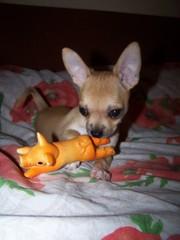 Продаётся щенок чихуахуа 3 мес мальчик