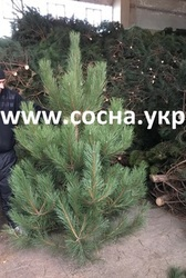 Сосна крымская крымка на елку новогоднюю опт