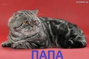 Шотландские котята-мраморята