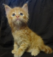 Рыжие котята мейн-куна девочки и мальчики