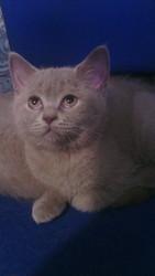 шотландские котята за 500 гривен