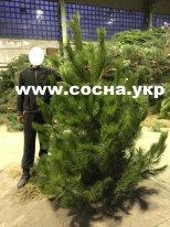 Продажа новогодних елок со склада