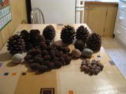 Продам редкие шишки Пинии (итальянская сосна) , Секвойи и Ели