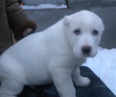 Продаются шикарные белоснежные щенки Среднеазиатской овчарки от титулованных производителей.
